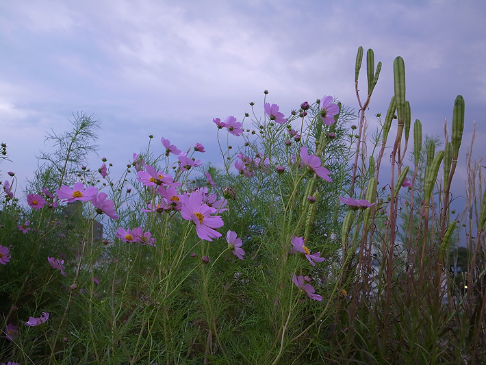 Cosmos at the time of twilight